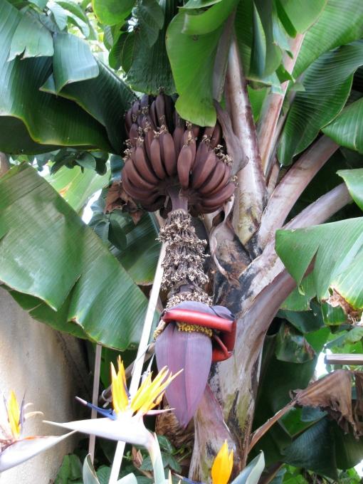 close-up of Cuban Red banana stalk