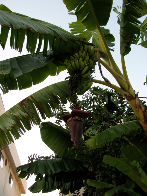 Rajapuri banana plant in bloom