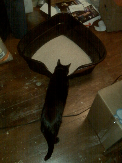 Jaco inspecting the new high-sided corner litterbox I ordered for him