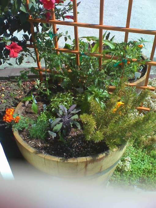 Assorted herbs and some tomato starts.  I placed a trellis between the two barrels for the tomatoes to climb