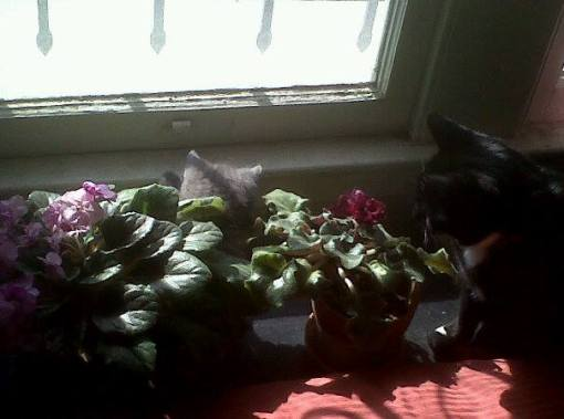 Exploring the African violets on the bedroom windowsill with Laxmi